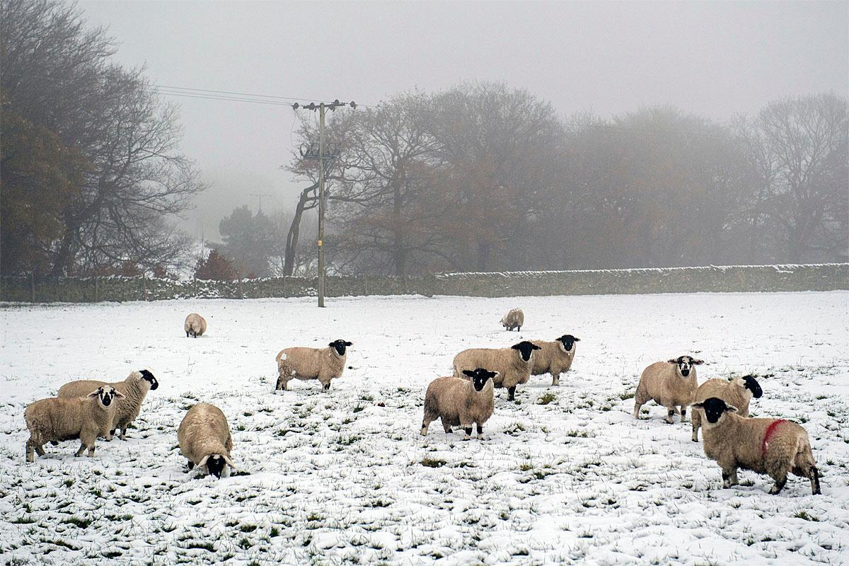 Sheep stand in a snow covered field in the village of Upperthong north England, as a storm, Storm Angus, the year's first big winter storm in Britain, lashes England's south coast, Sunday Nov. 20, 2016. (Anthony Devlin/PA via AP)