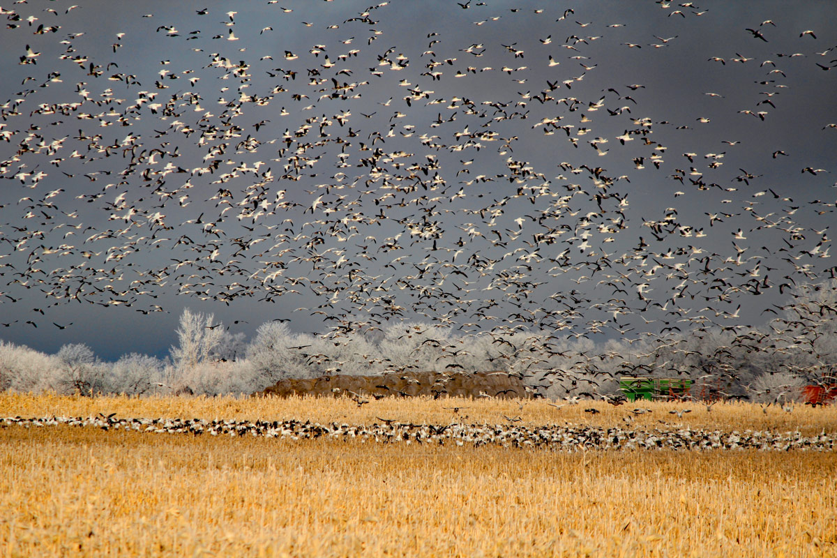 Federal officials have established special seasons with no limit on the number of snow geese hunters can kill. However huge flocks of snows still overwhelm many Midwest states. (Photo: Richard Simms)