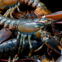 Maine lobster, the most valuable species in US seas, hit by Trump's trade stance