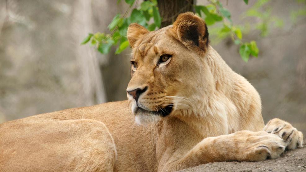 Hometown Auto Sales >> Lioness at Indianapolis Zoo kills her longtime mate | KHQA