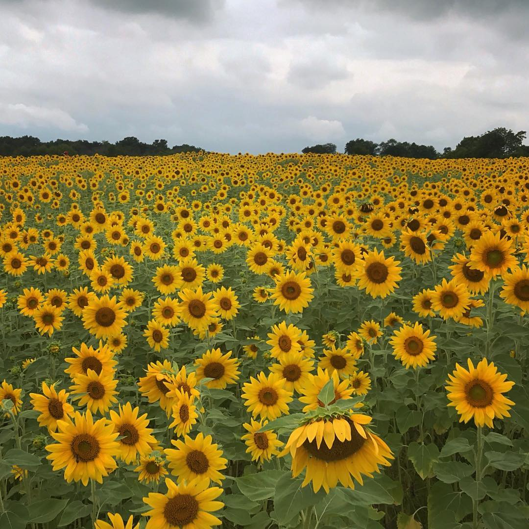 Every year, a large field of gorgeous, golden sunflowers blooms across from Cottell Park. During the summer months, the field is the perfect place to take photos for Instagram. If you want to visit the sunflowers yourself, they're located directly across Snider Road from Cottell Park. ADDRESS: 5847 Irwin Simpson Rd (45040) / Image courtesy of Instagram user @cat_doan // Published: 8.3.18