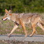 Pet attack prompts new Joint Base Charleston coyote removal efforts