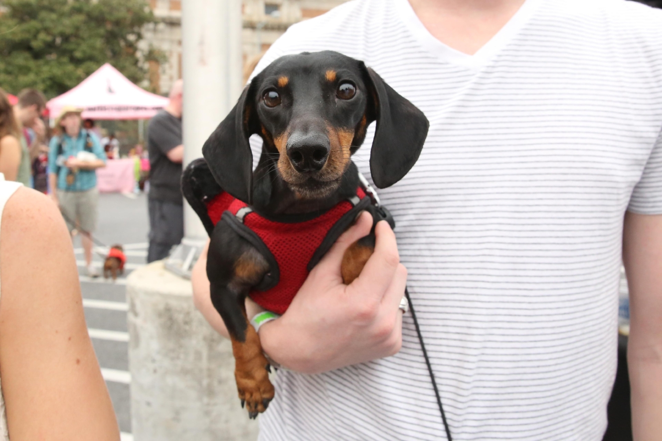 Dozens of  Dachshunds entered the Weiner 500 races at Oktoberfest at The Yards on Sept. 24 in what might have been the cutest competition of all time. The festivities, which welcomed longer-legged dogs as well, also included a costume contest and a stein-lifting competition for humans. (Amanda Andrade-Rhoades/DC Refined)