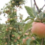 Henderson County farmers survey damage to apple crops