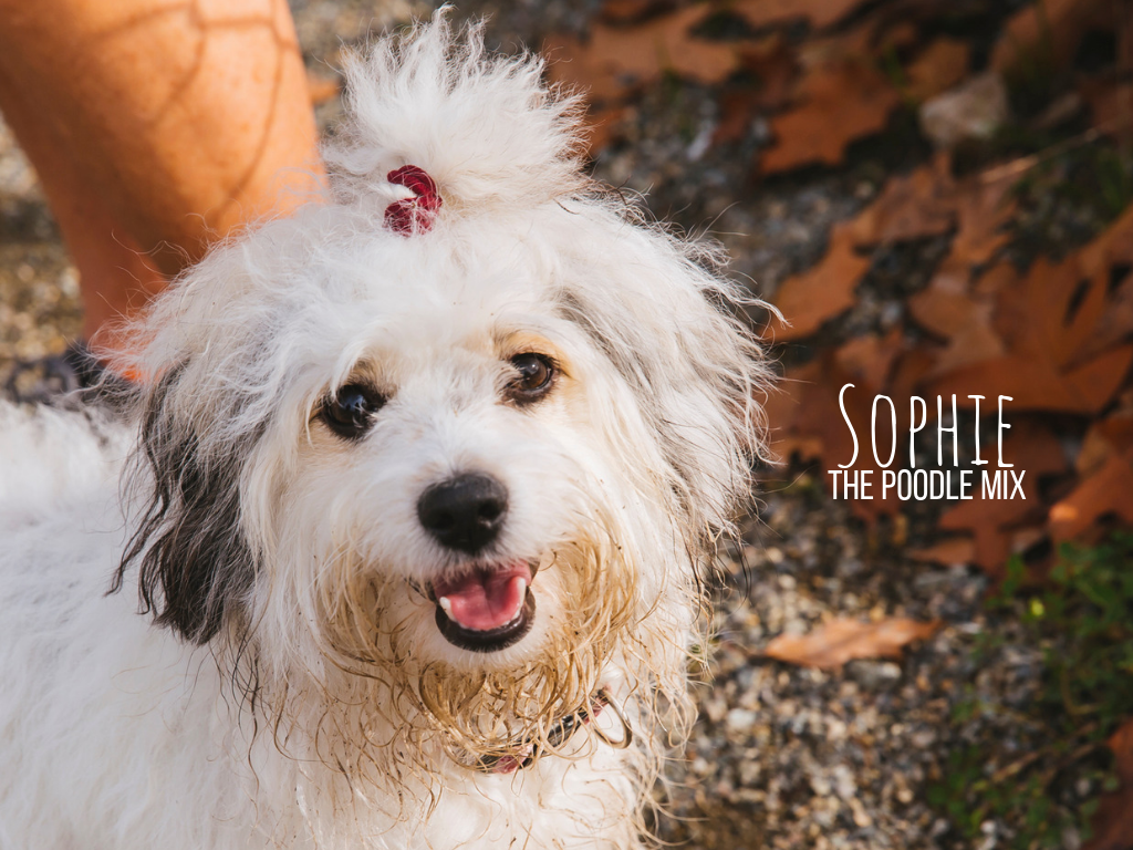 Meet Sophie! Sophie is an 11-month-old Poodle Mix who might be part kanagroo with how high she can jump! Sophie likes playing fetch, running, fishing, boating, jumping and generally playing around 24/7. She dislikes cardboard boxes and the people that ride their bikes by her house. The Seattle RUFFined Spotlight is a weekly profile of local pets living and loving life in the PNW. If you or someone you know has a pet you'd like featured, email us at hello@seattlerefined.com or tag #SeattleRUFFined and your furbaby could be the next spotlighted! (Image: Sunita Martini / Seattle Refined).