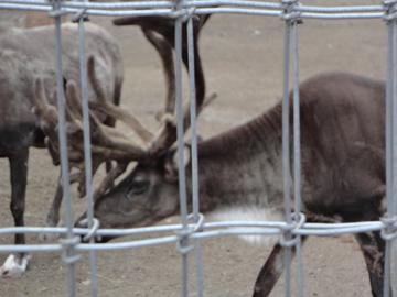 Reindeer at the North Pole, AK