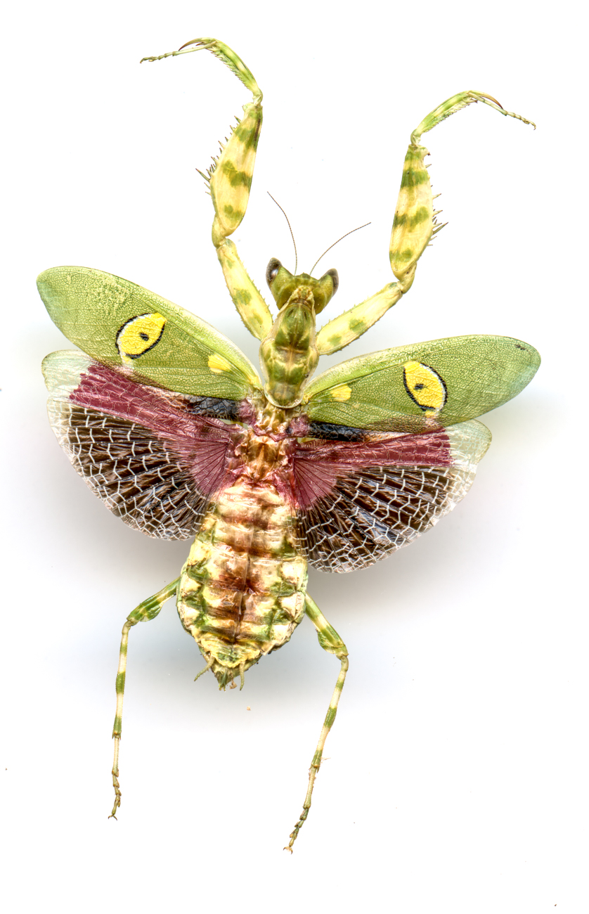 Indian Flower Mantis{ }/ Image: Catherine Viox // Published: 4.12.20