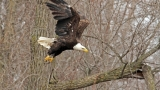 Spot a bald eagle on Onondaga Lake
