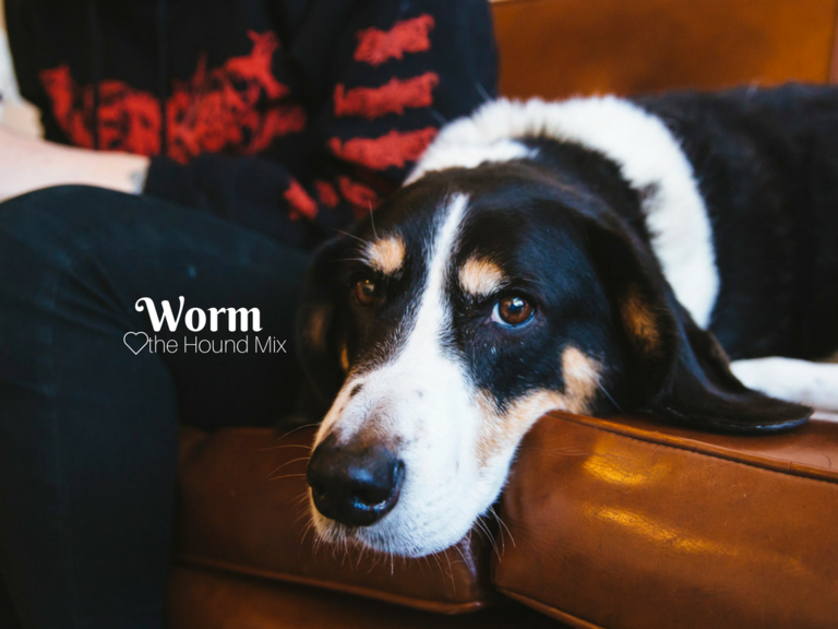 Everyone - here's Worm! Worm is a nine and a half year old Basset Hound/Corgi mix and can be described by his parents as a distinguished British gentleman. Worm likes carrots, bow ties, his mom, belly rubs and naps. He dislikes John Candy the dog who we featured a few weeks ago. The Seattle RUFFined Spotlight is a weekly profile of local pets living and loving life in the PNW. If you or someone you know has a pet you'd like featured, email us at hello@seattlerefined.com or tag #SeattleRUFFined and your furbaby could be the next spotlighted! (Image: Sunita Martini / Seattle Refined).