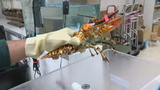 At odds of one-in-30-million, rare calico lobster shows up at Silver Spring seafood store