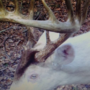 Albino Whitetail deer spotted in Tennessee appears to be real deal says TWRA