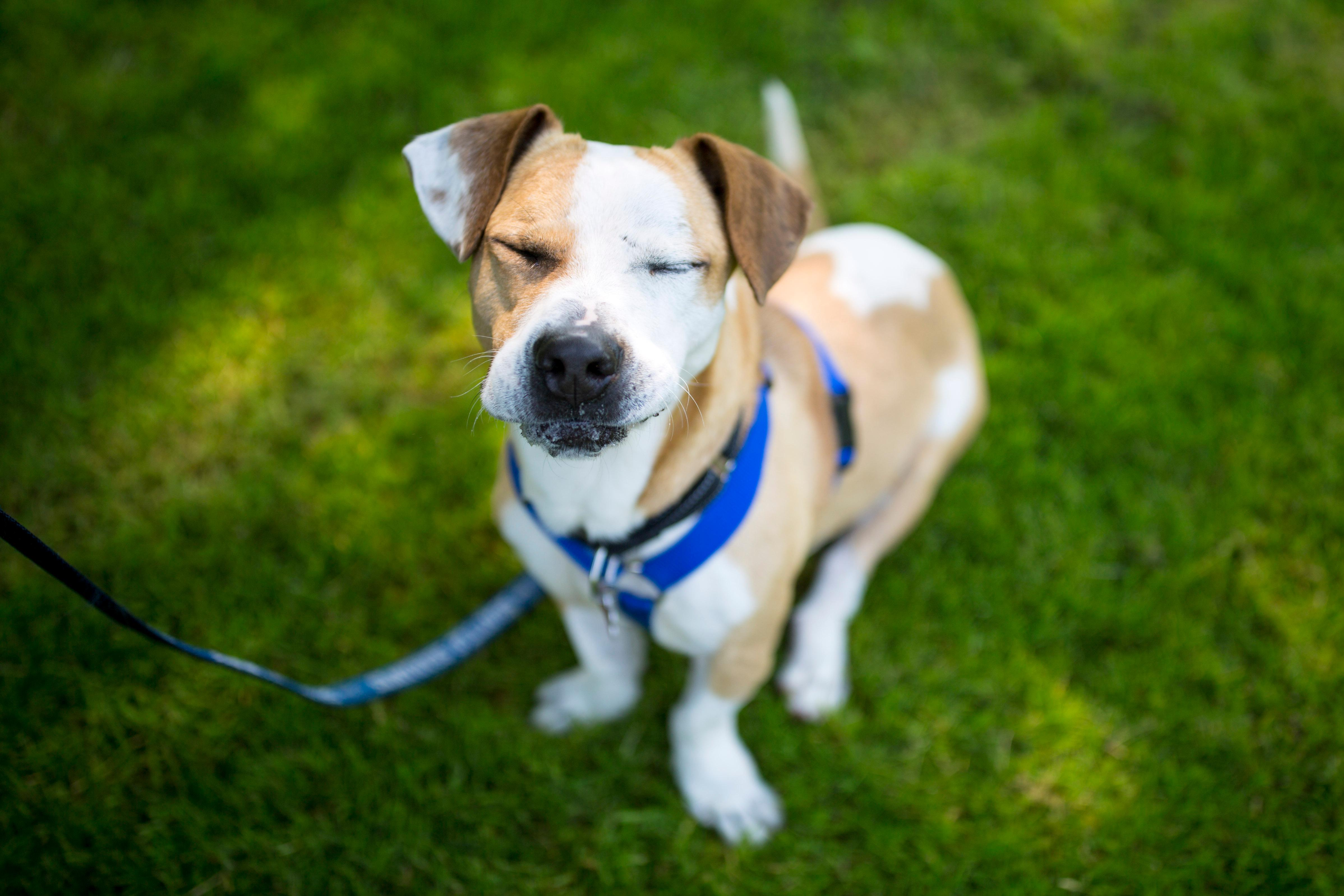 "His foster affectionately refers to him as a ""low-rider"", and this hilarious-looking little man is FULL of attitude! (Sy Bean / Seattle Refined)"