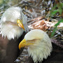 Little Rock Zoo mourns death of two bald eagles