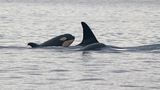 Researchers get new pics of baby orca frolicking in Strait of Juan de Fuca