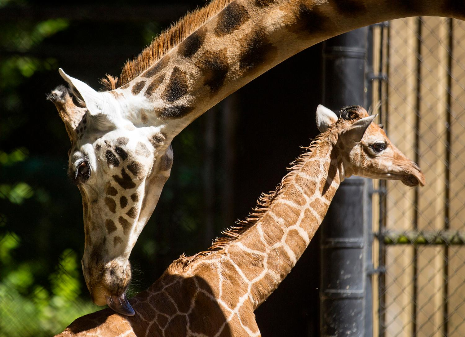 Woodland Park Zoo's new baby giraffe enjoys the sun on Friday, June 30, 2017. The baby's mother, 8-year-old Tufani, gave birth Tuesday, June 20, 2017. (Sy Bean / Seattle Refined)