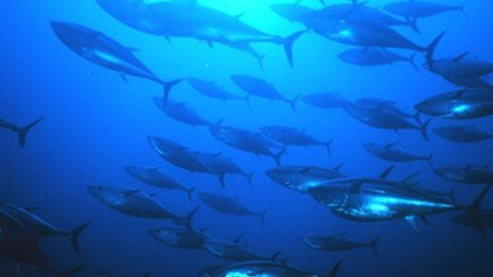 Man accused of illegally catching tuna dumping it in for Knights landing fishing report