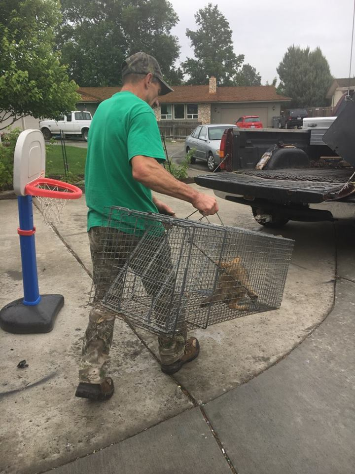 Young coyote enters Kennewick home, to be released into wild