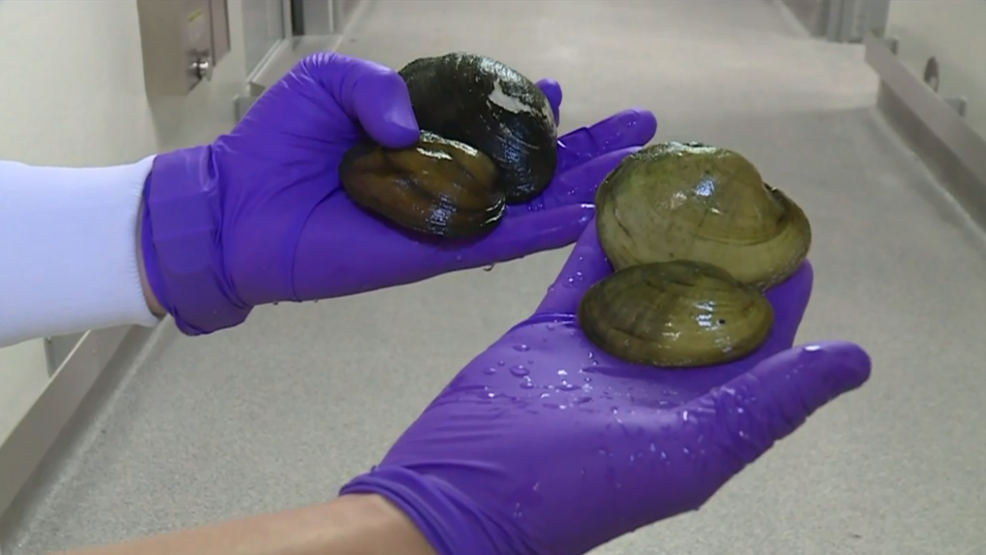 how to clean and cook freshwater mussels