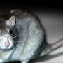 Six cases of viral illness linked to rats in Illinois