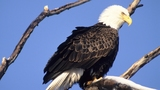 Eagle-viewing season begins Dec. 23 in several areas