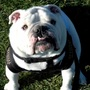 Bryant University bulldog collapses, dies unexpectedly