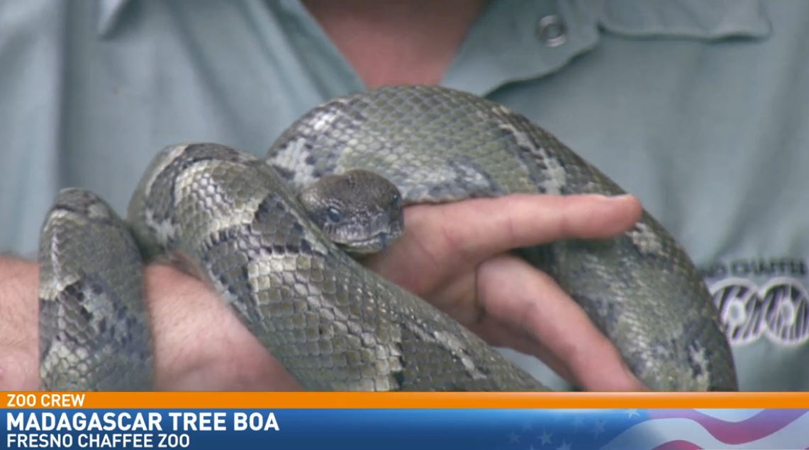 Zookeeper Ryan Gruber visited Great Day with a Madagascar Tree Boa.