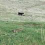 Sheriff: Several wolves attacking cattle in eastern Oregon