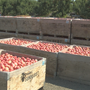 Apple growers in the state of Washington expect third largest harvest ever