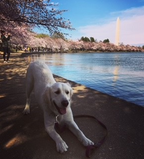 In honor of National Pet Day (which is basically like Christmas around here!) we checked in on a few of our favorite Instagram stars to see what they've been up to lately, and we noticed many of them had paid a visit to D.C.'s beloved blossoms. So for this week's special RUFFined Spotlight, we give you some adorable four-legged admirers of the cherry blossoms! (Image: via IG user @adventures__of_maddie /{ }instagram.com/adventures__of_maddie/){ }