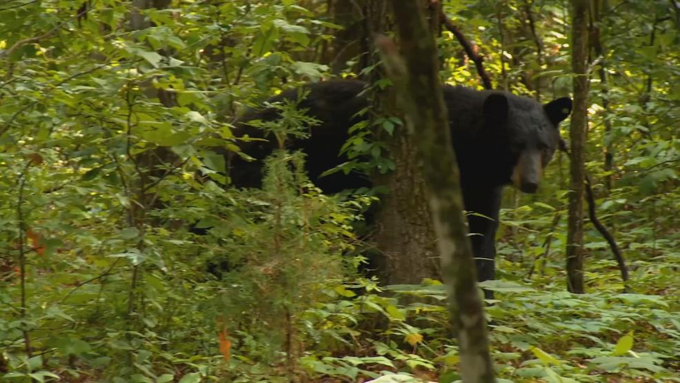 Camden County couple wakes up to black bear in backyard   KRCG