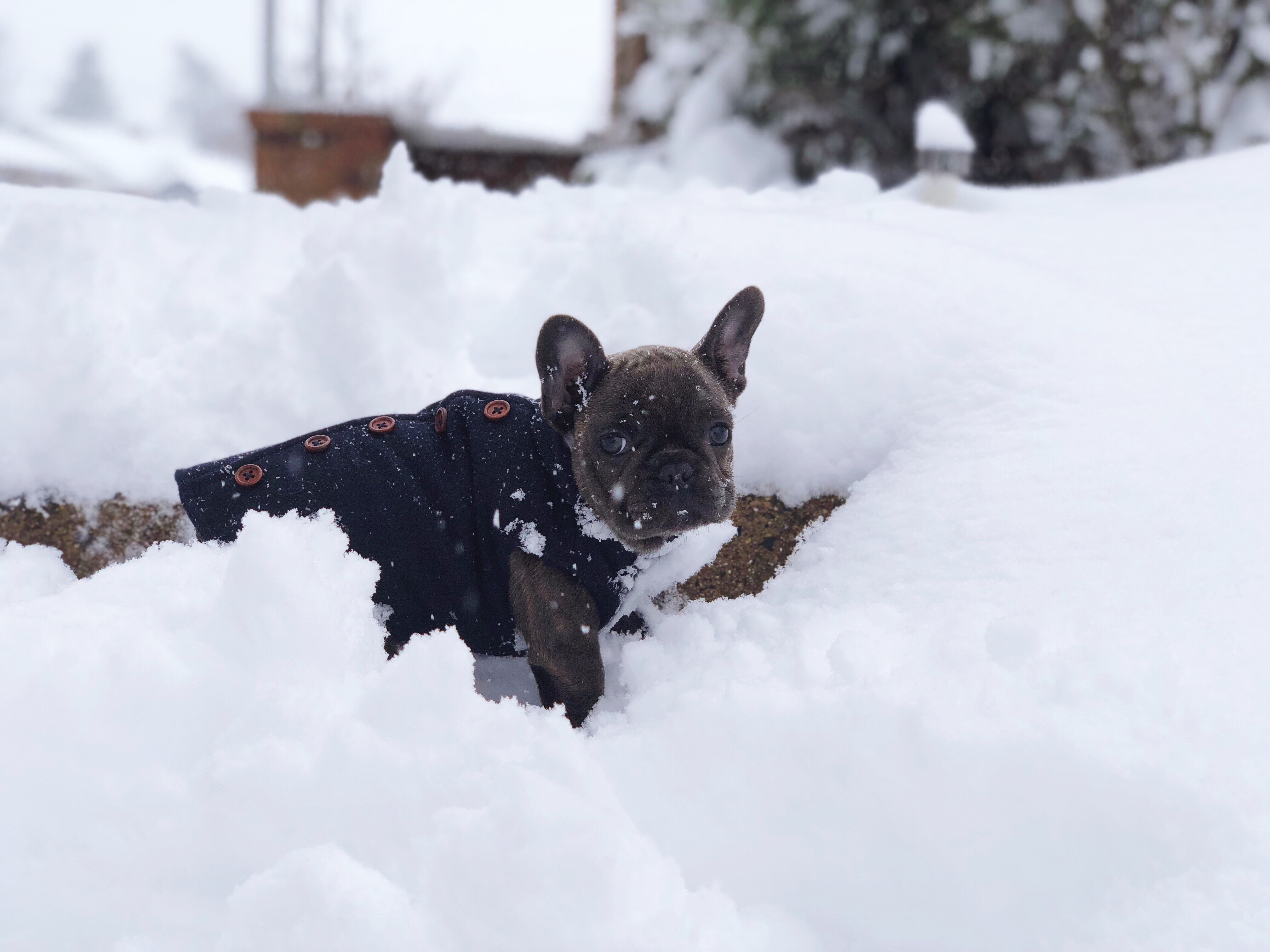 D.C. finally got its first real snowfall of the season -- on March 21! Given that it's the probably the only flakes we'll see for a while, the pups of the DMV decided to really live it up. Check out a few of the adorable pets we spotted chilling in the snow today!{ } (Image: Courtesy IG user @linnarosethefrenchie)