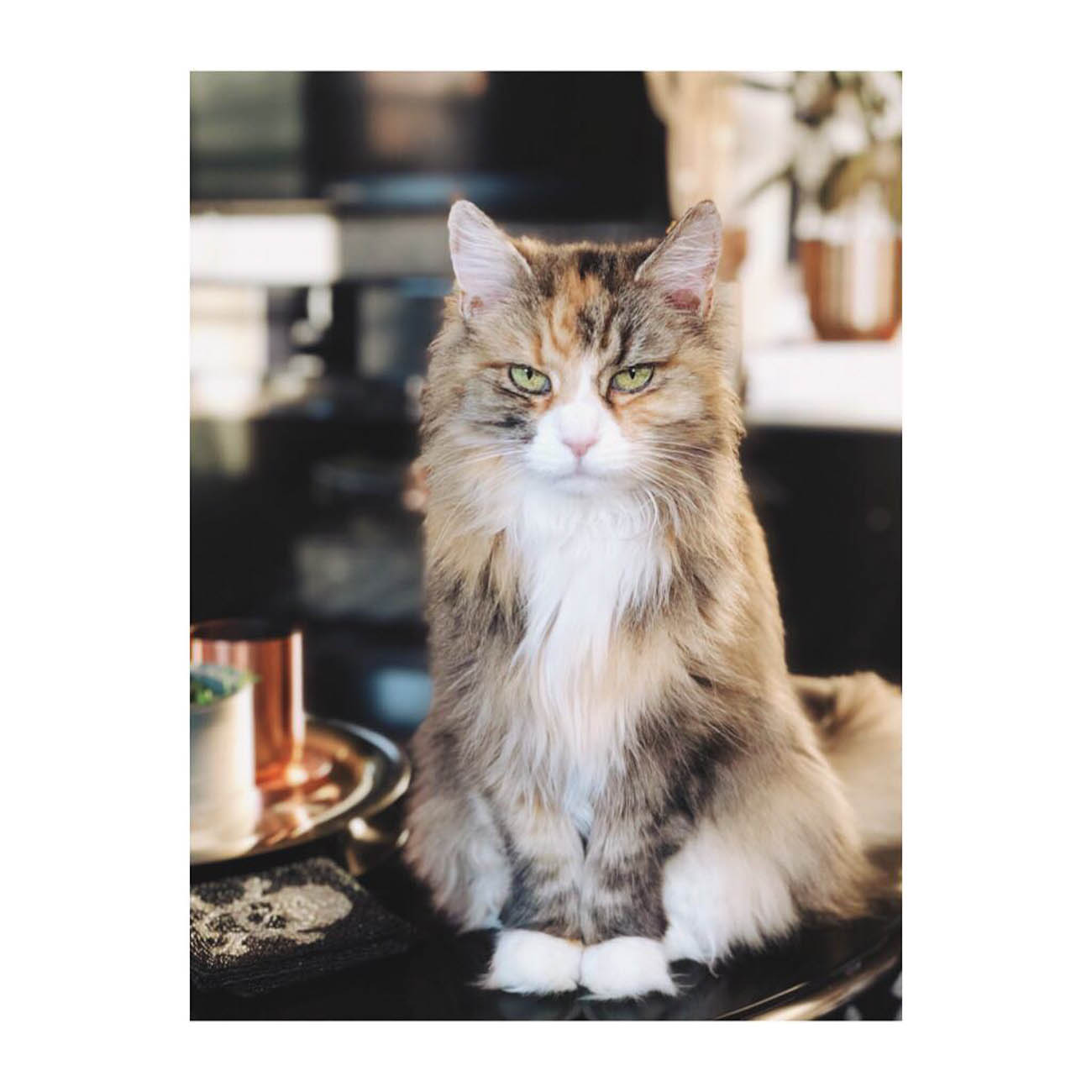 B.B. is an adopted Siberian Forest cat. She's equals parts sweet and sass. / Image courtesy of Instagram user @beebsieboo // Published: 1.13.19