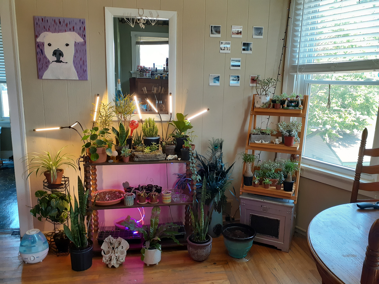 "Brittany Hodgetts from the west side / ""I just got into plants about a year ago and I can definitely say that my room has grown tremendously since COVID.  I really love all of my plants, but a few of my favorites are my monstera deliciosa (she was one of my firsts), my black magic and mojito colocasia, and my pony tail palm. My dining room has the only good lighting in my house so all of my plants live there and I love how it feels like a jungle in there. It's very calming and welcoming."" / Image courtesy of Brittany Hodgetts // Published: 6.13.20"