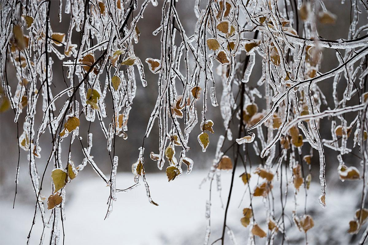 Icy tree branches are seen after a freezing rain in Yakhroma, some 50 kilometers (31 miles) from Moscow, Russia, Sunday, Nov. 13, 2016. Temperatures in Yakhroma fell to minus 5 degrees Celsius (minus 23 degrees Fahrenheit). (AP Photo/Alexander Zemlianichenko)