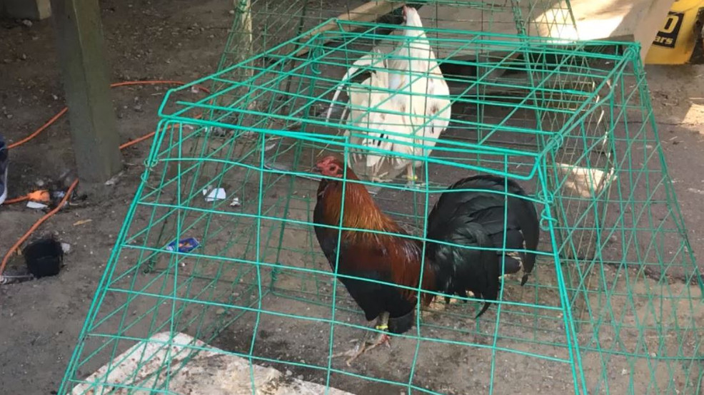 2 men arrested, 300 roosters seized in illegal cockfighting