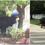 Large bull escapes, takes out some shrubs in Meridian neighborhood