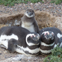 These penguins don't pick favorites, UW study finds