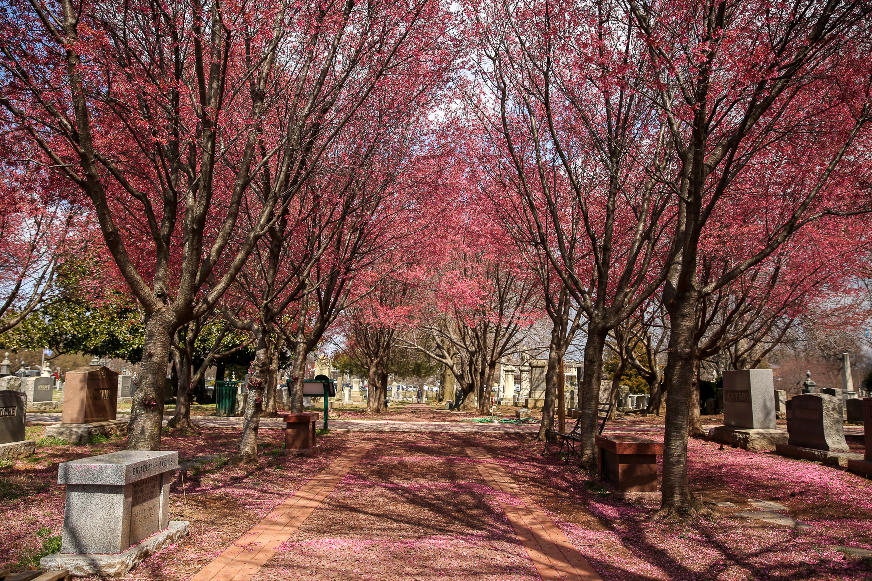 Congressional Cemetery has dozens of blooming cherry trees. The trees typically boom before those around the Tidal Basin, so they're currently full of stunning pink flowers. Plus, you can bring your dog if they're registered to use the cemetery as an off-leash dog park. (Amanda Andrade-Rhoades/DC Refined)
