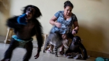 Cuban biologist raises 2 chimpanzees in her Havana apartment