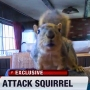 Joey, the indoor pet squirrel, guards home against burglary