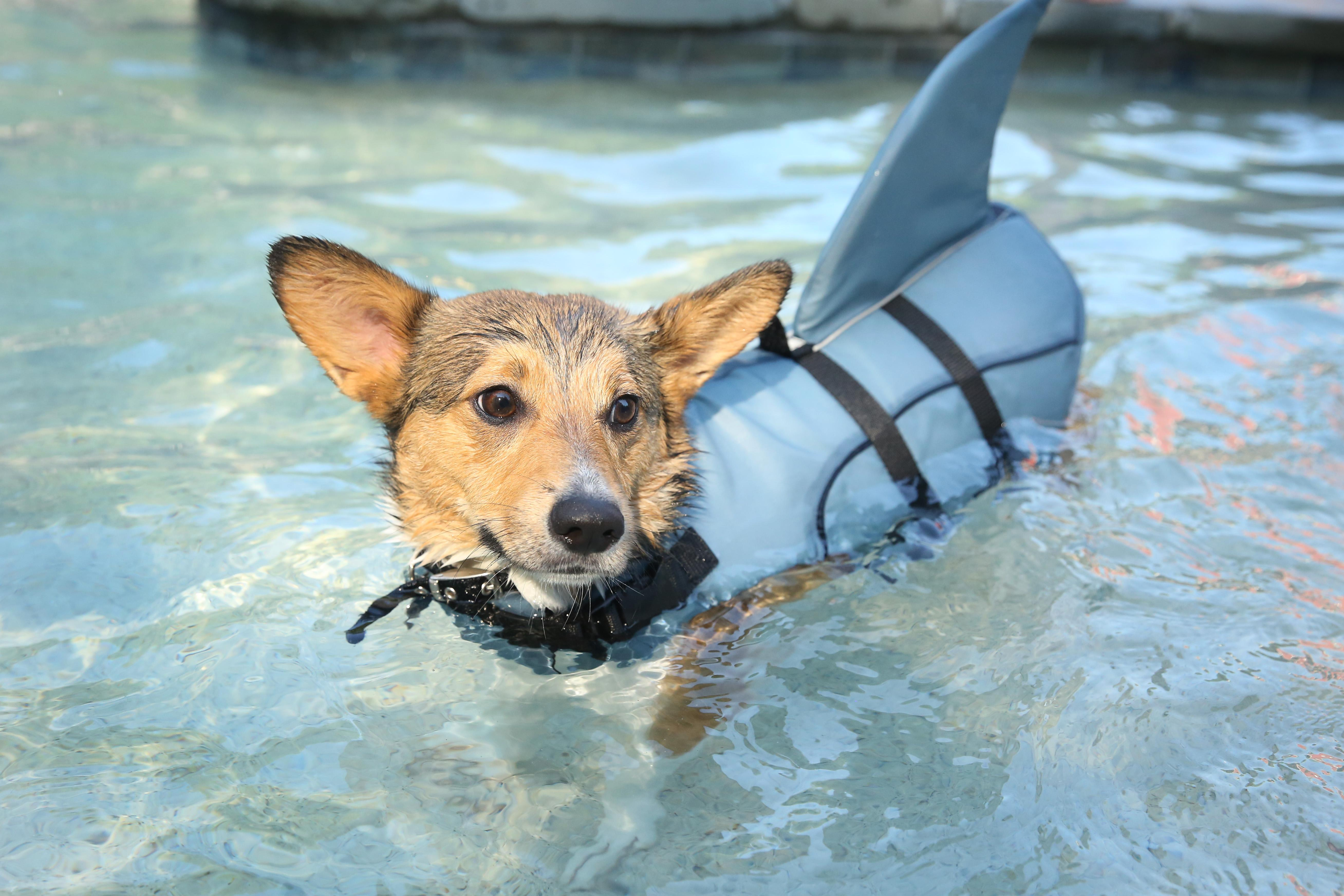 We all need a midweek pick-me-up now and then and there's no better solution to the doldrums than corgis. Here's a collection of some of our favorite stumpy-legged RUFFined stars and other corgis we've photographed. (Amanda Andrade-Rhoades/DC Refined)