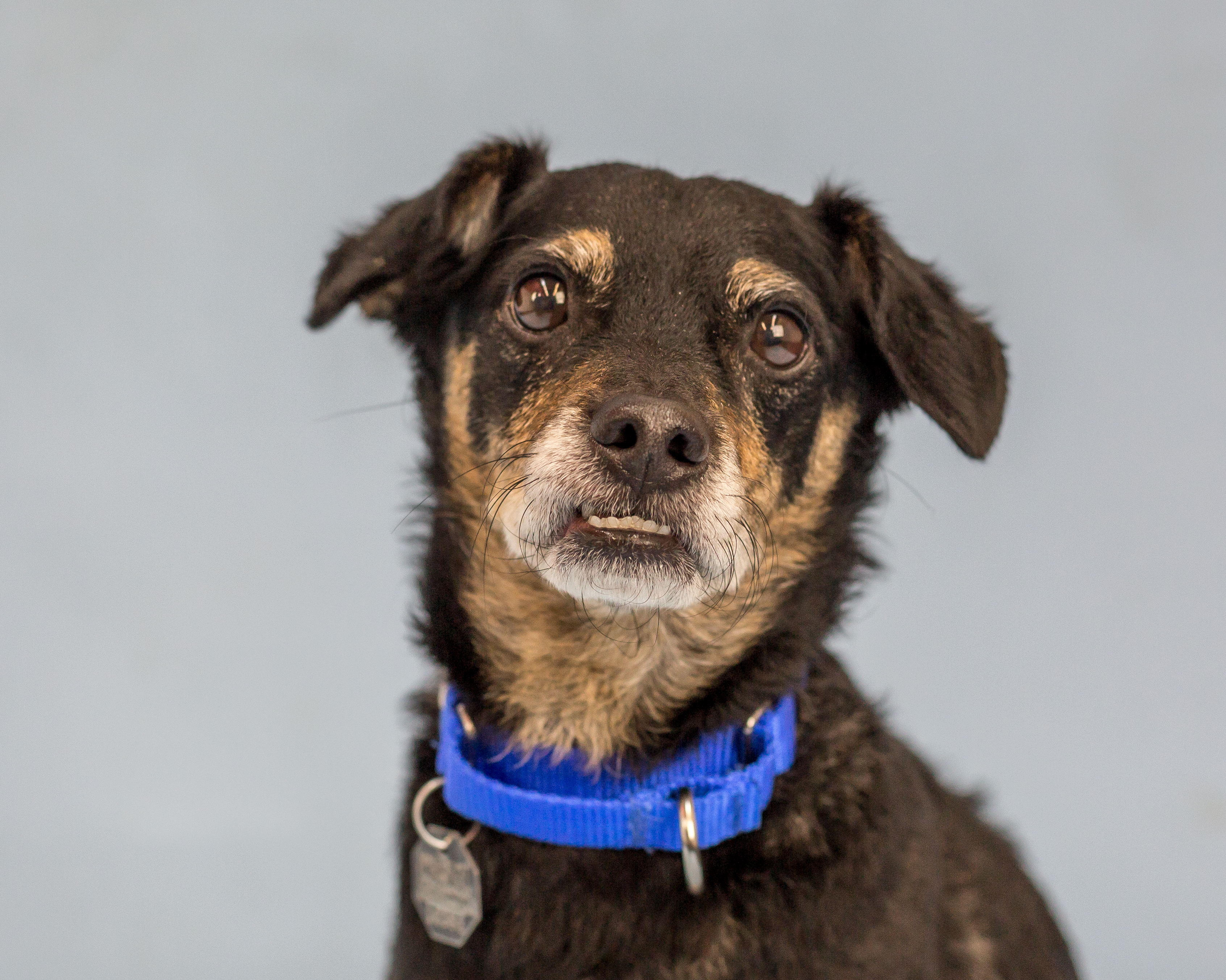 Greetings! My name is Oslo - I'm a delightful eight year old miniature pinscher dachshund mix waiting to meet you! I enjoy hanging out with my people and going for quiet, leisurely walks the most. I've done well with other dogs, and did I mention I enjoy having a good conversation? If you're looking for best friend material, I'm your guy! Older kids are more my style and I can't wait for a new adventure by your side.