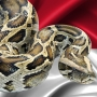 Indonesia man swallowed by python, villagers and reports say