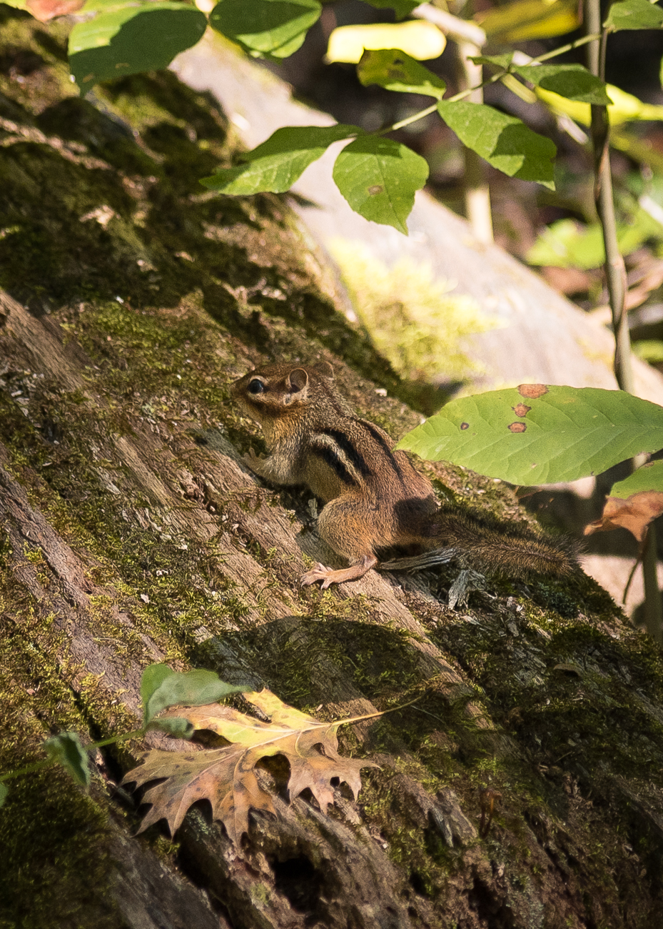 Chipmunks are everywhere at the Cincinnati Nature Center. Keep an eye out for them; they're quick! / Image: Phil Armstrong, Cincinnati Refined // Published: 10.20.18