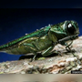 WIU working against Emerald Ash Borer