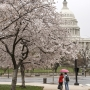 Peak bloom date for cherry blossoms announced
