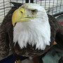 3 bald eagles die after testing positive for lead poisoning in 2 weeks