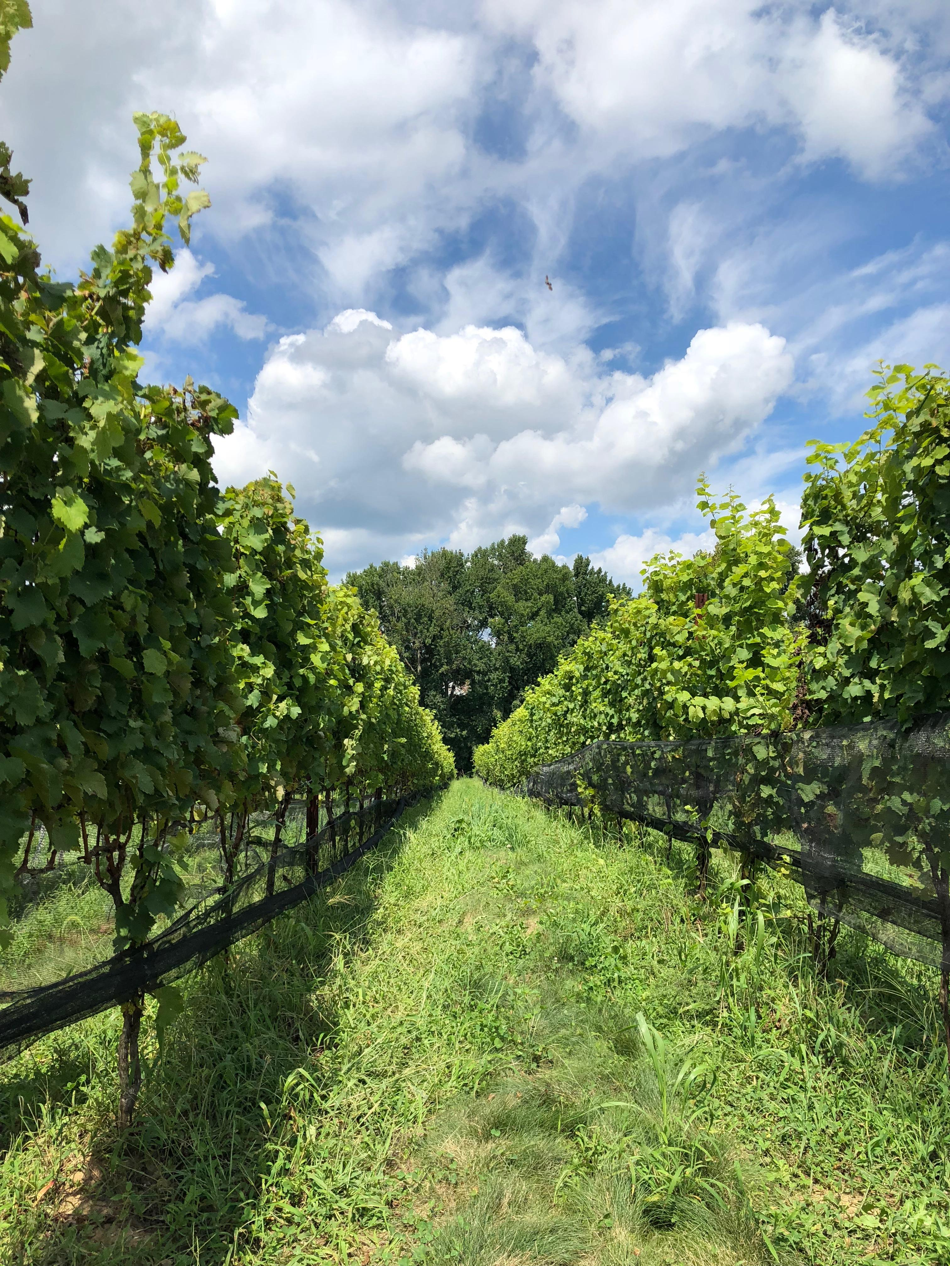 The Vineyards at Dodon, located in Davidsonville, Maryland, is a 40-minute drive from D.C. and just 20 minutes from Annapolis. (Image: Aparna Krishnamoorthy)