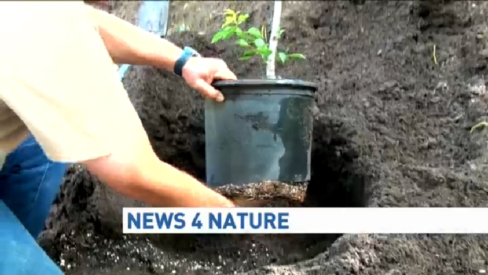 Transplanting a potted plant into the ground