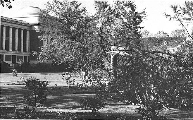 On Columbus Day in 1962 (Oct. 12), a severe windstorm with gusts of more than 100 mph moved inland from the Pacific Ocean and caused severe damage in the Willamette Valley, including Oregon State University, where 55 trees were destroyed and another 43 were damaged - including this one outside the Memorial Union. (photo courtesy of Oregon State University Archives)g